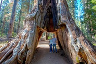 Woodworking Industry News Giant sequoia tunnel tree shattered by massive storm